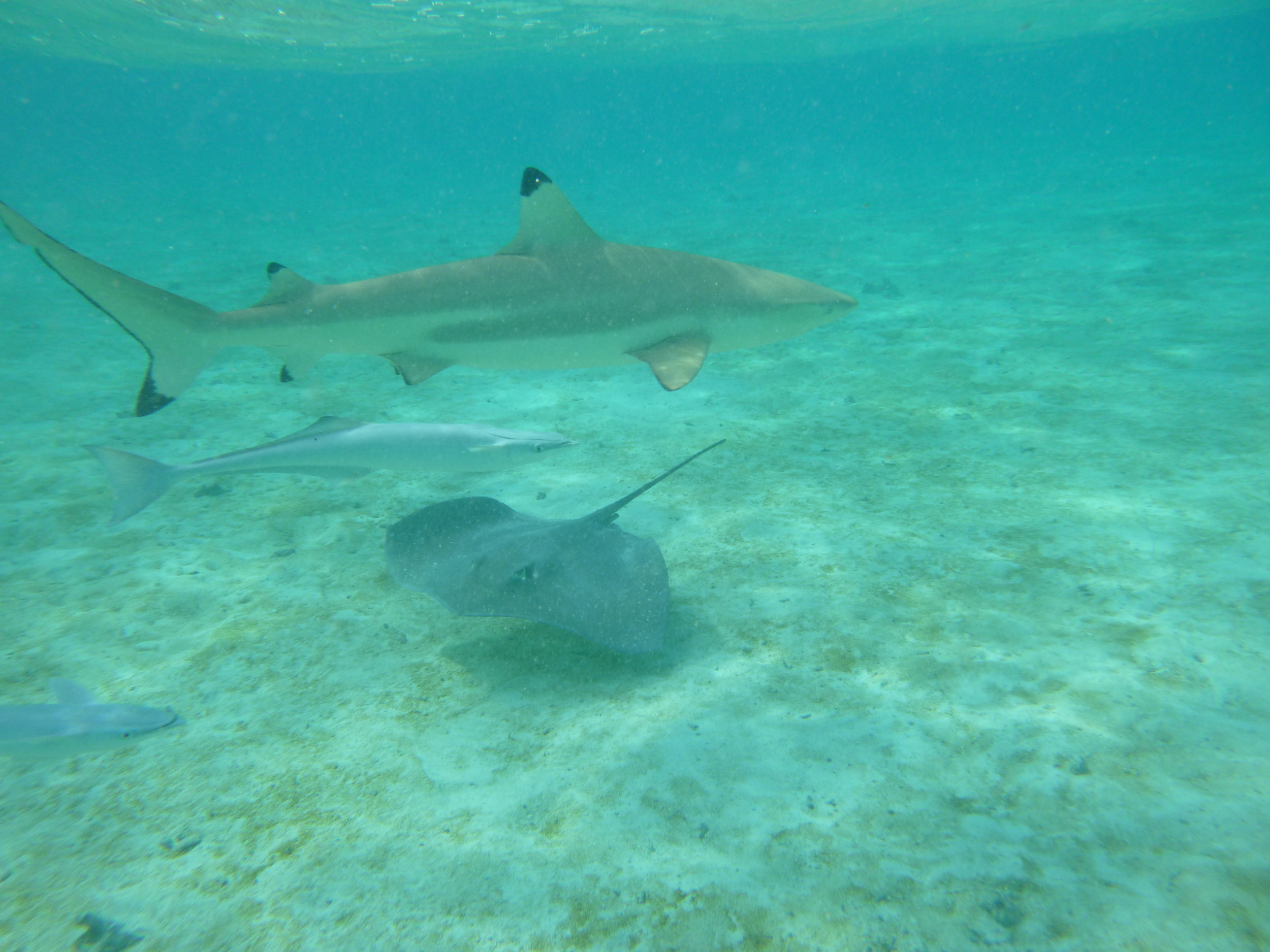 Black tip reef sharks mingling with the stingrays
