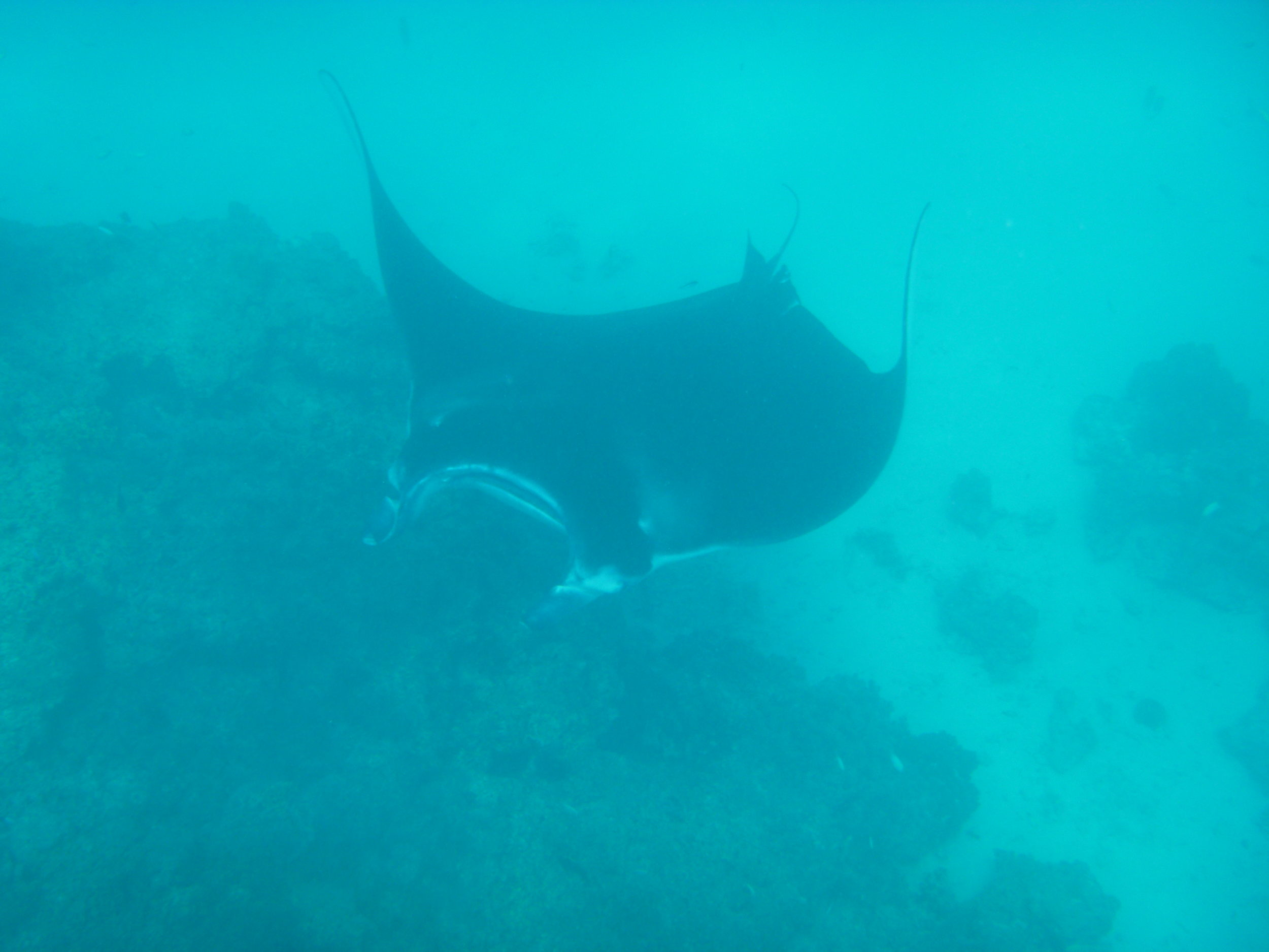 A beautiful manta ray feeding