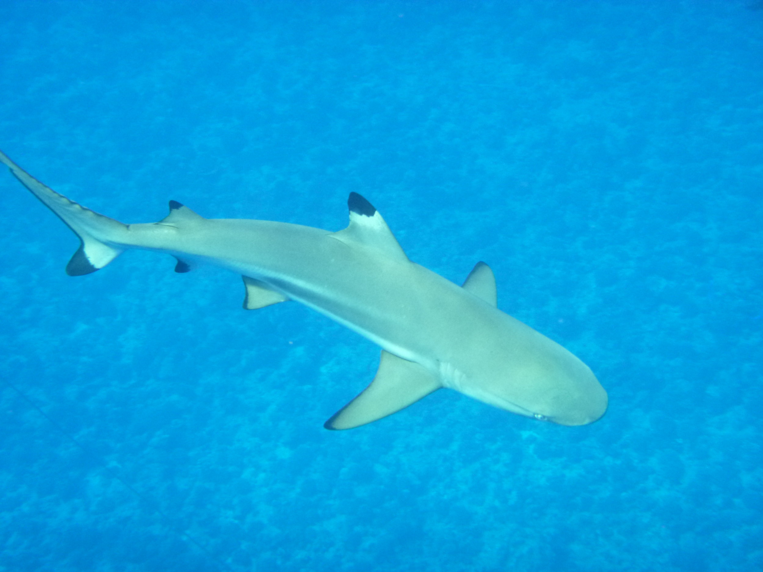 The blacktip reef sharks come as close as about 10 feet