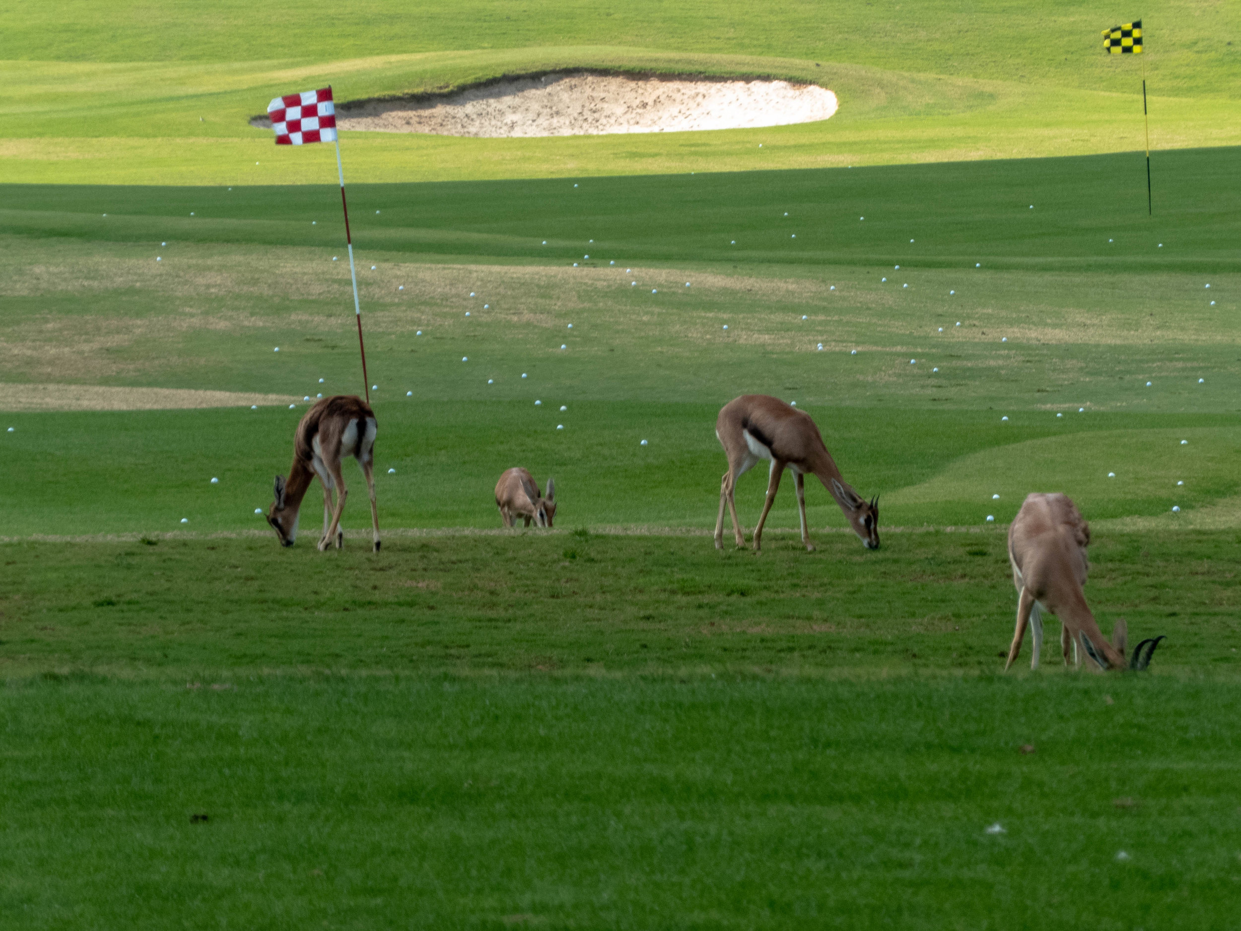 Some of the remaining gazlles left out at Saadiyat Beach Golf Club