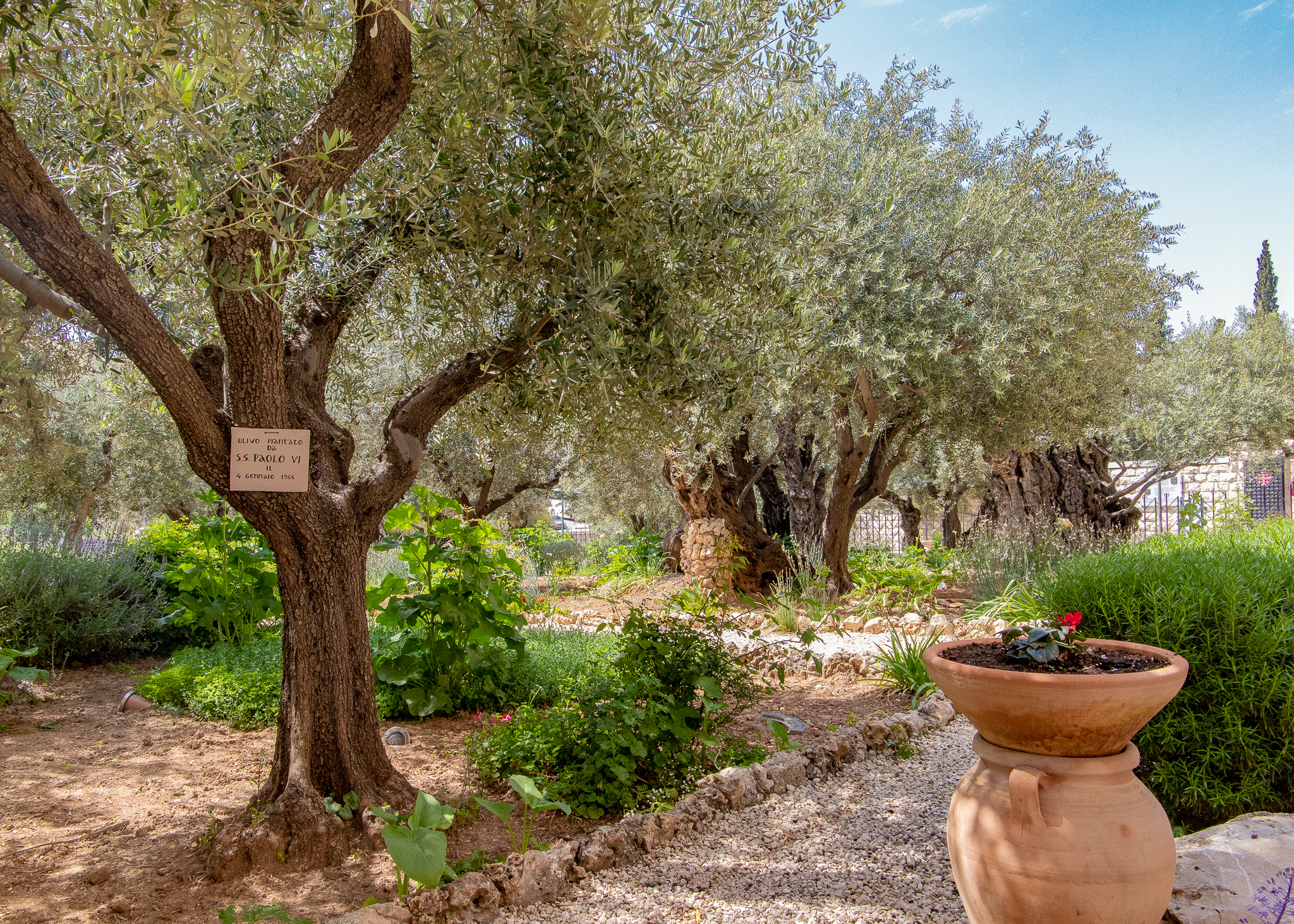 Ancient olive trees (towards the back) in the Garden of Gethsemane