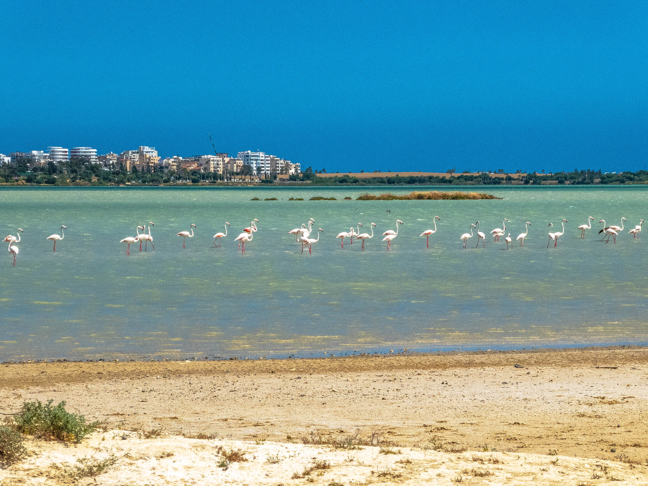 A line of flamingos