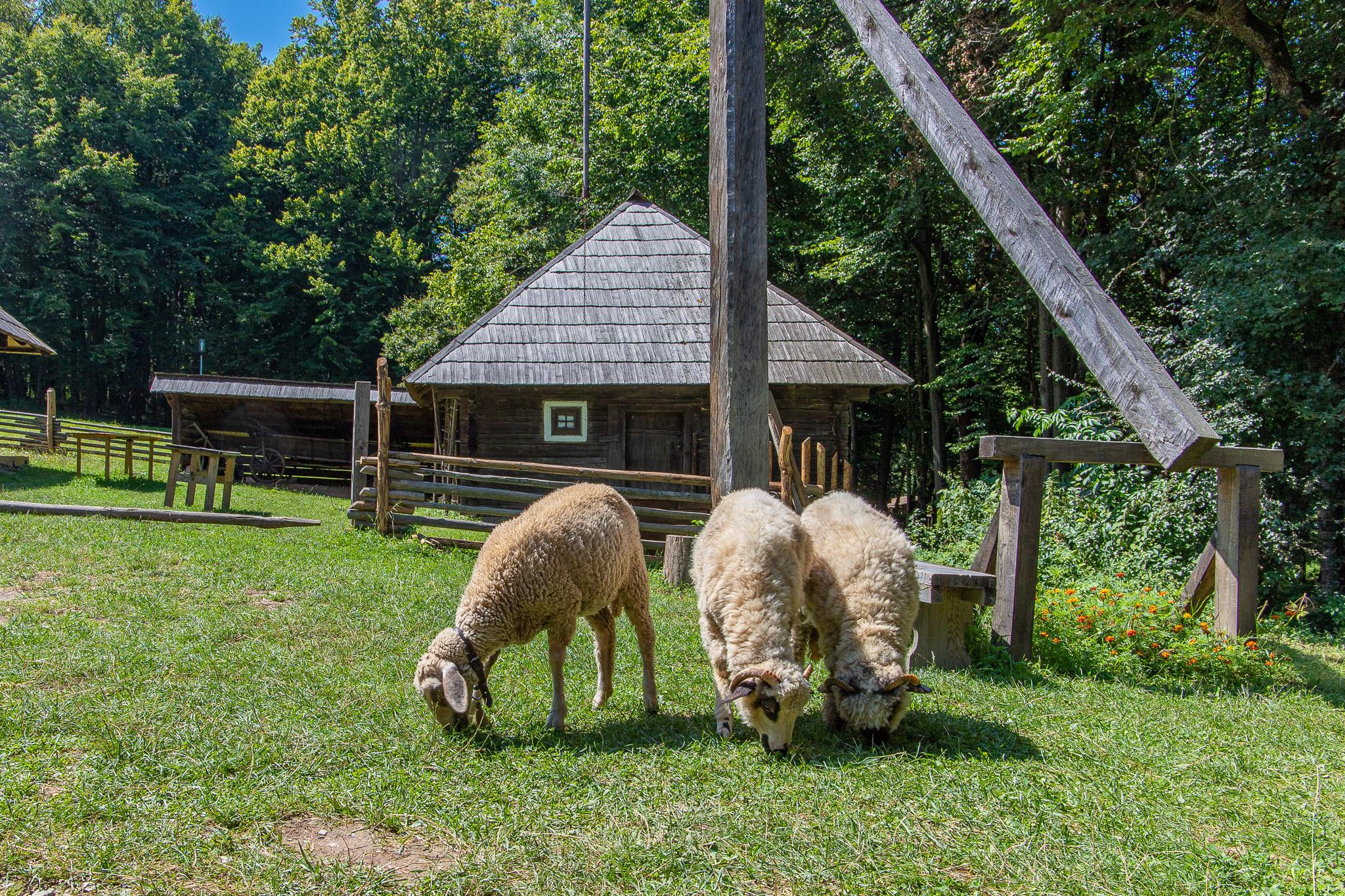 Sheep mate, Romanian sheep