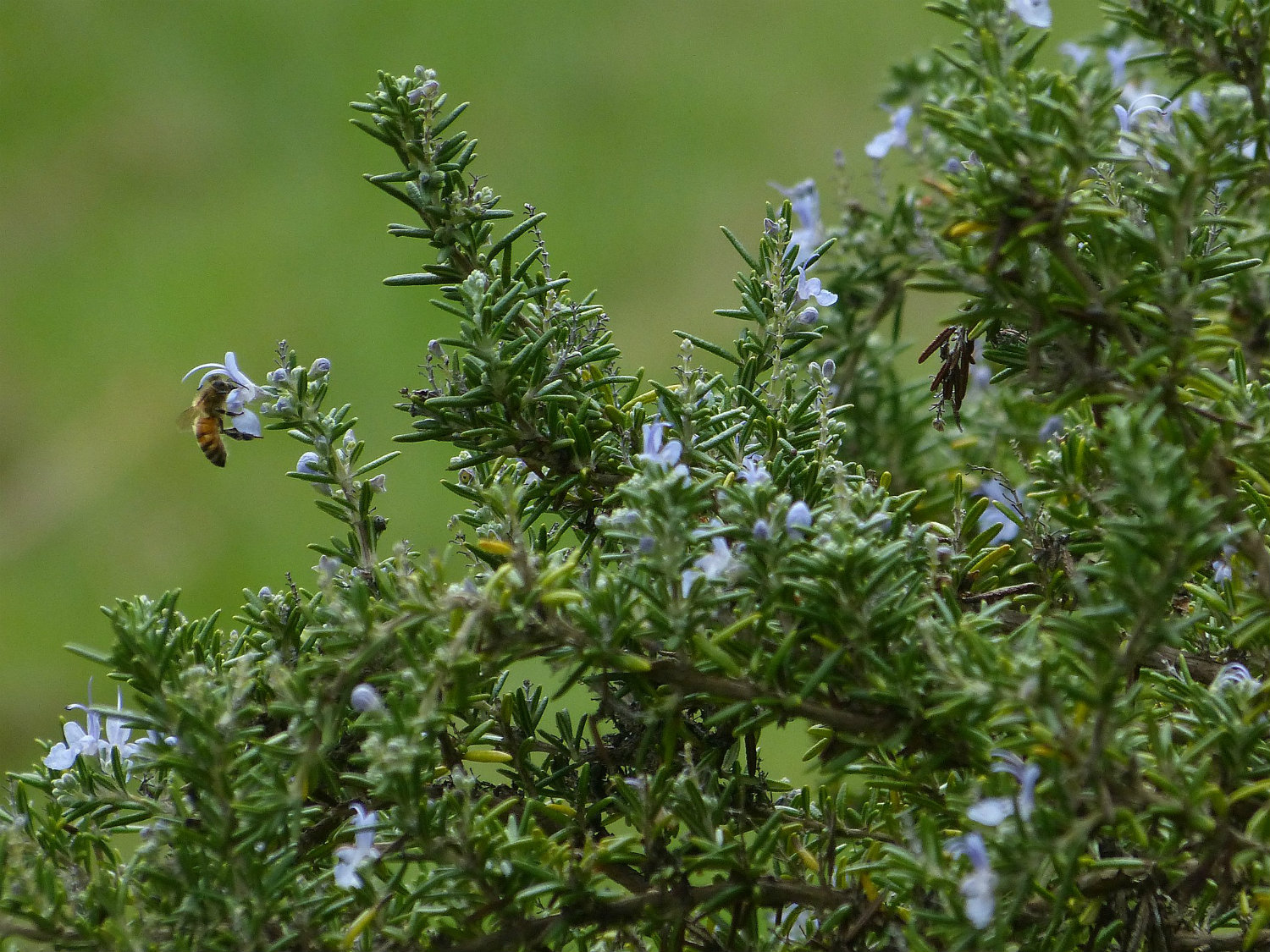 Rosemary, by Carole Grogloth Molokai, Hawaii, [CC BY 3.0 (http://creativecommons.org/licenses/by/3.0)], via Wikimedia Commons