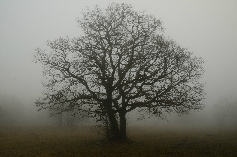 Oak tree, fog, solitude; by Sophie07, courtesy of  pixabay.com