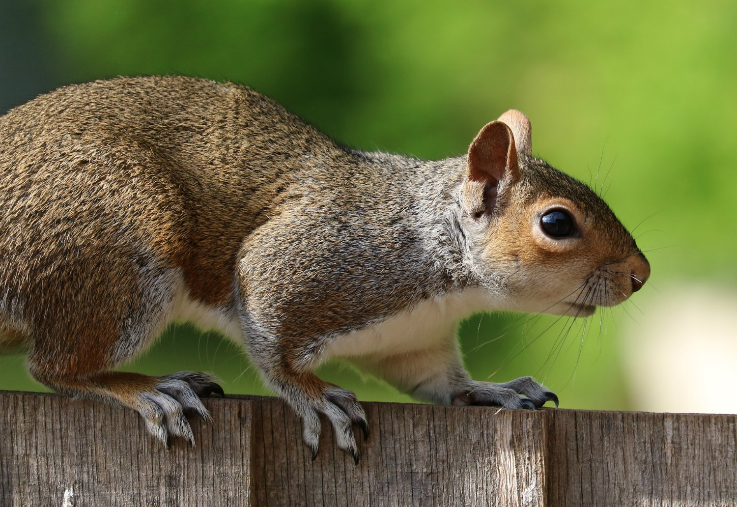Squirrel on fence, by jLasWilson,  pixabay.com