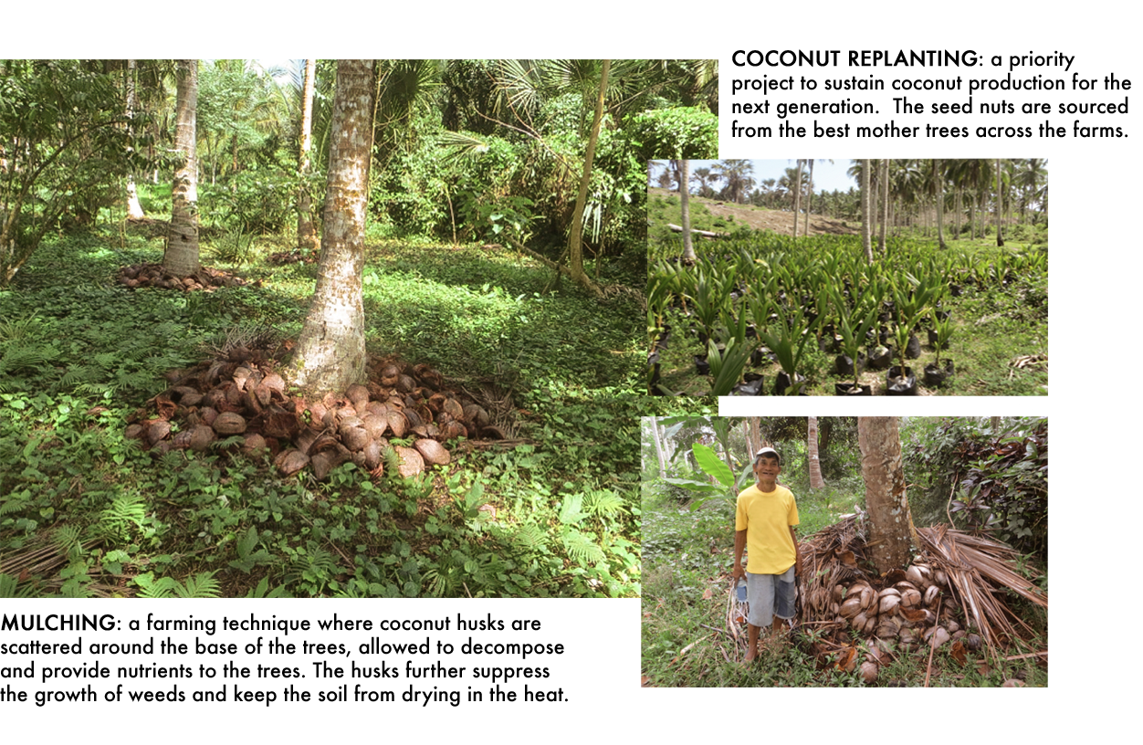 descriptions of mulching and coconut replanting processes with image of a coconut tree base surrounded by coconut husks and green forest foliage