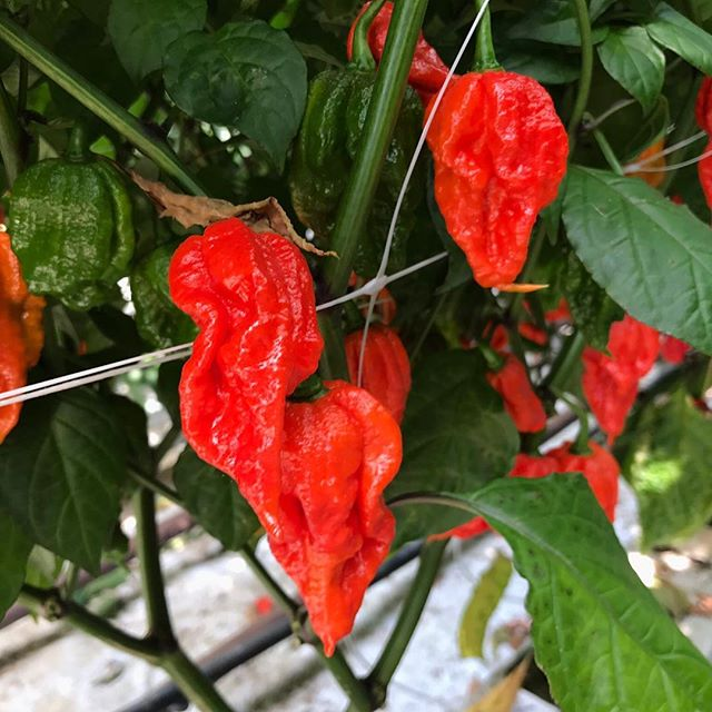 SOME LIKE IT HOT!! Did you catch us on the BBC Look East programme tonight? What do you think to our #carolinareaper... . .