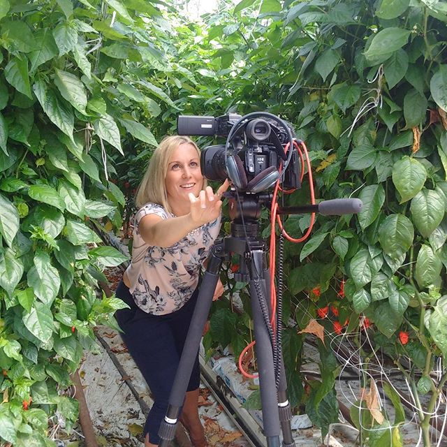 BBC Look East down at the farm today, feeling HOT HOT HOT in all senses of he word 🌶🌶🌞🌞 #lovemychillies #chillies