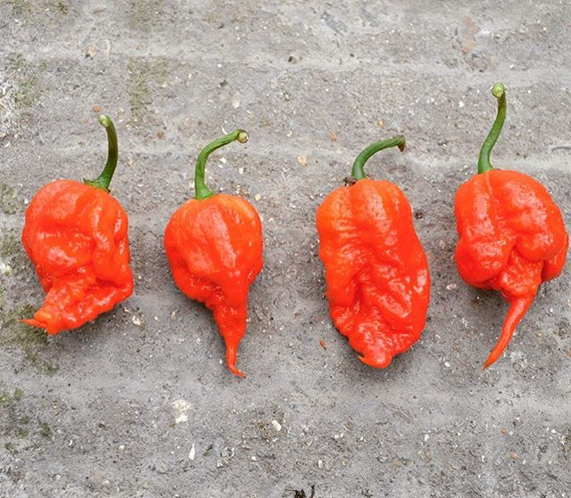 🌶🌶 HOT NEWS 🌶🌶 you can now purchase the world famous Carolina Reaper directly from our website in either 1KG or 5KG batches. Site link in bio . #chillies #lovemychillies #spicy #chillipepper #carolinareaper #komododragon