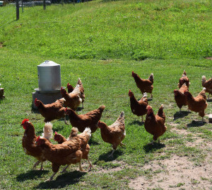 PPFG - Pasture raised chickens