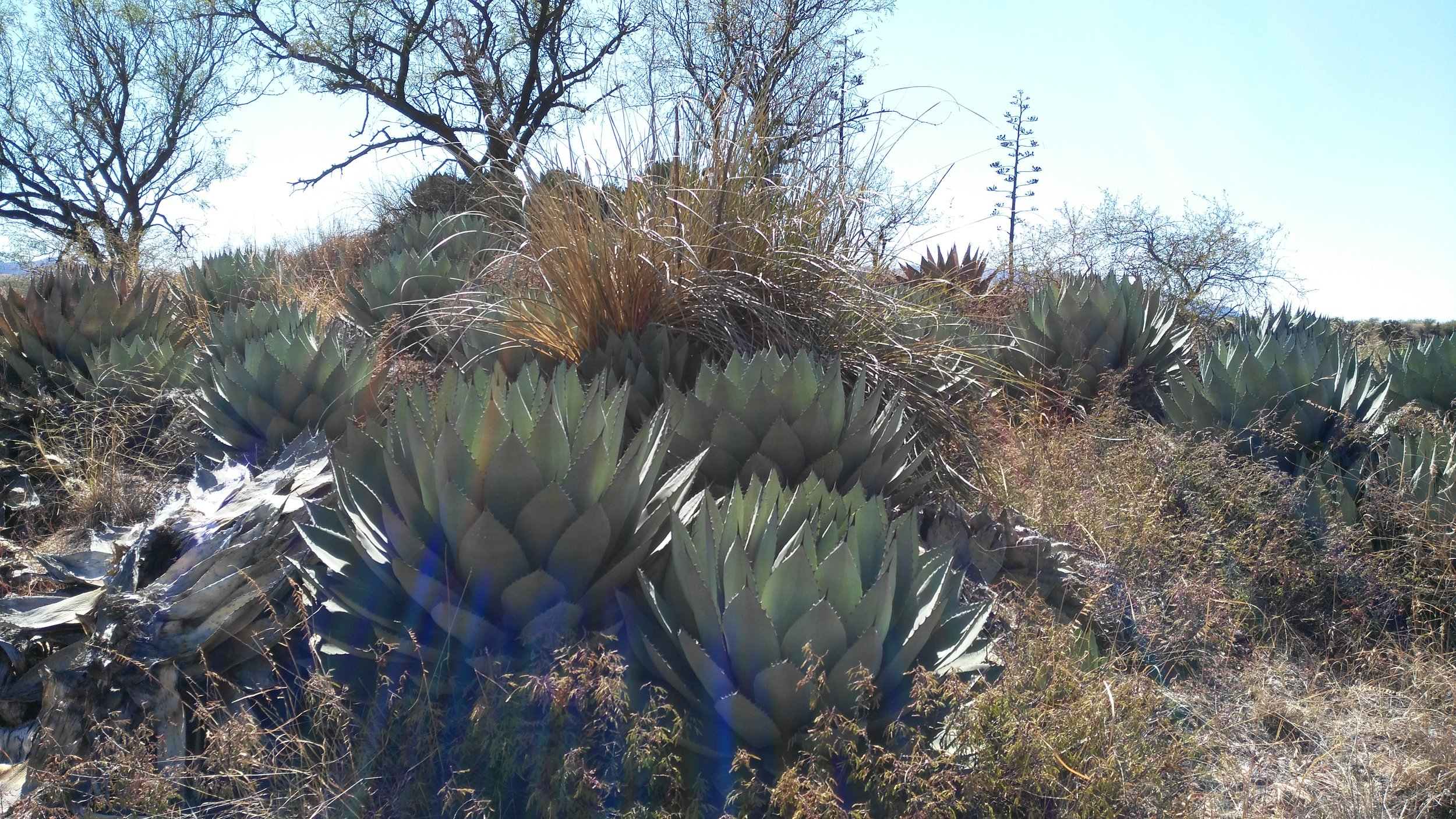 A patch of agave cultivated by someone who lived in the region several hundred years ago. Cultivation changes the plant and evolves the species.