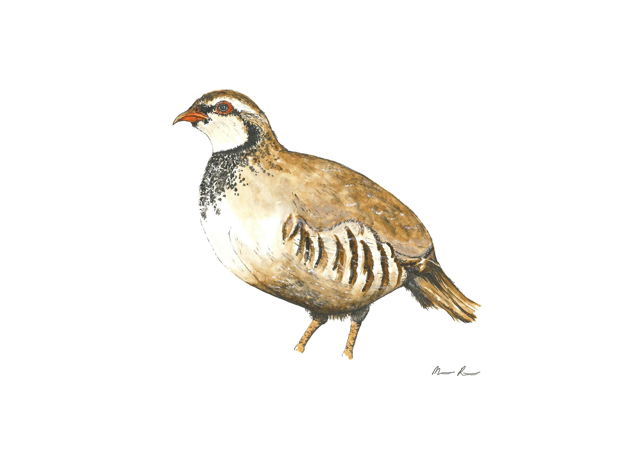 Partridge - 12