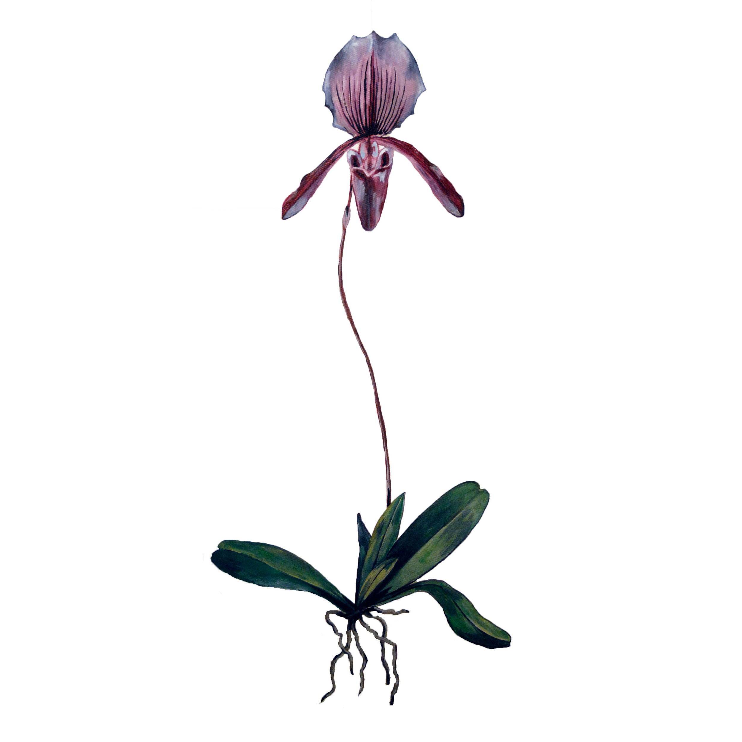 Lady-slipper.jpg