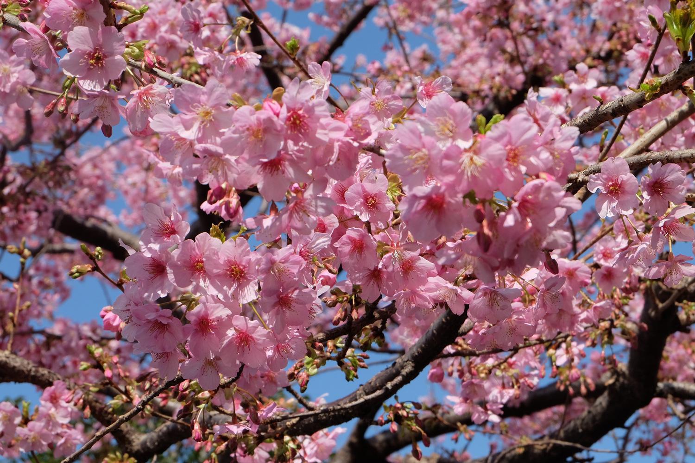 Sakura attracts thousands of international visitors every year. Image:     Shin Taries