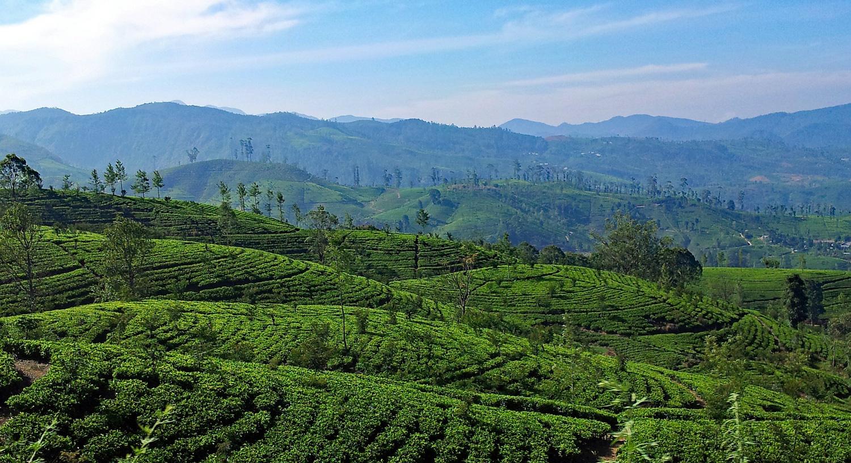 Tea plantations on the hills around Kandy. Image:   Lapping