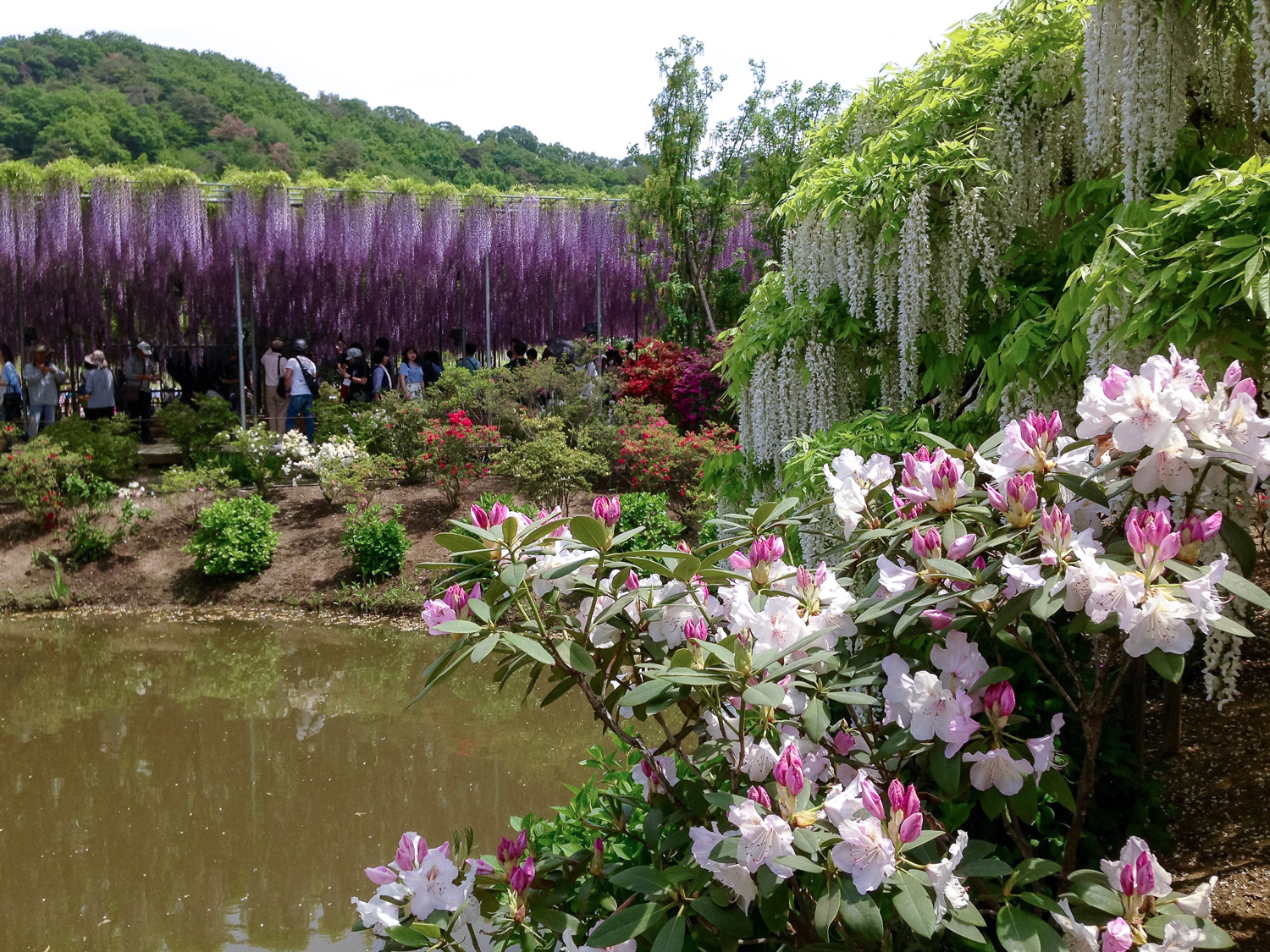 Azaleas are in flower at the same time as the wisterias. Image:  © David Astley