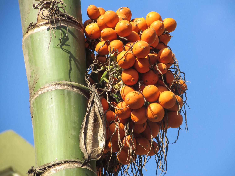 The colourful fruit of the betel palm. Image:     Vijaya Narasimha