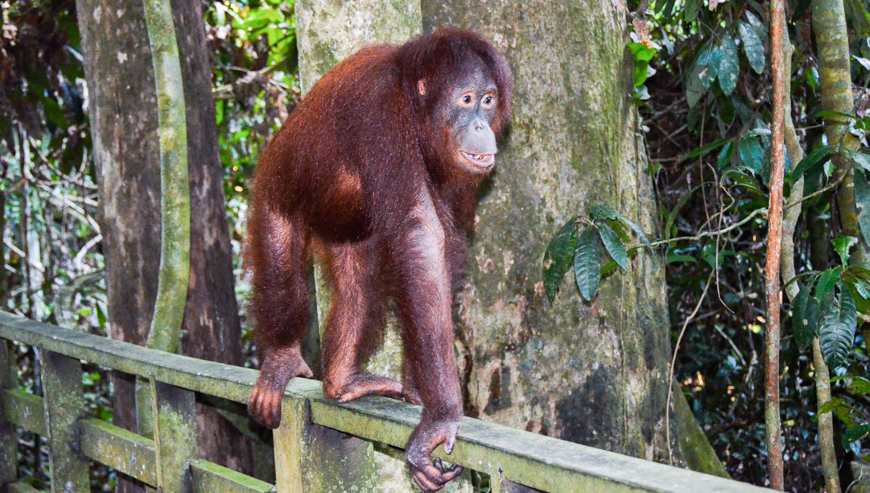 An orangutan in a Borneo forest reserve. Image:     pen ash