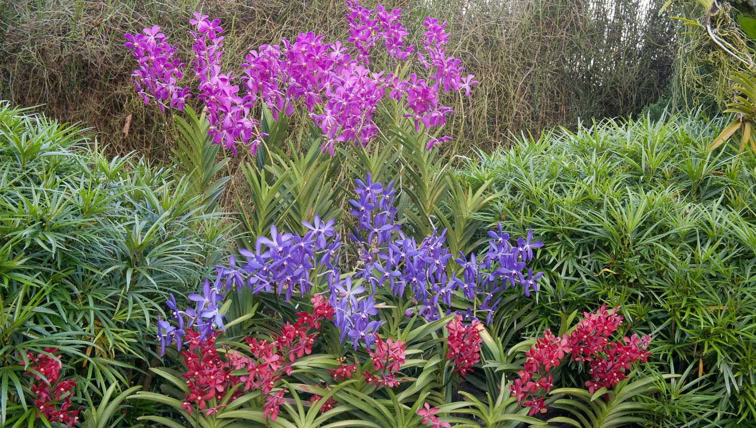Colourful Vandas in the National Orchid Garden. Image: © David Astley