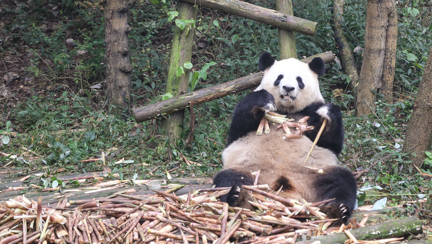 At Chengdu's panda breeding centre. Image:  © Alan Williams