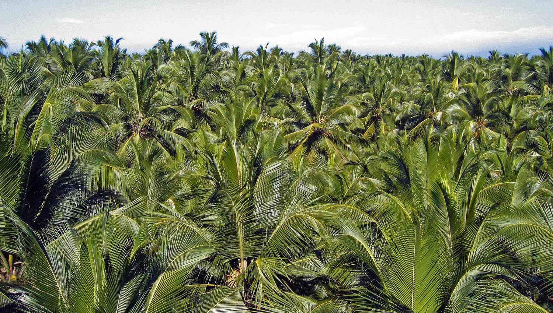 A plantation of coconut palms in Kerala. Image:  © Alan Williams