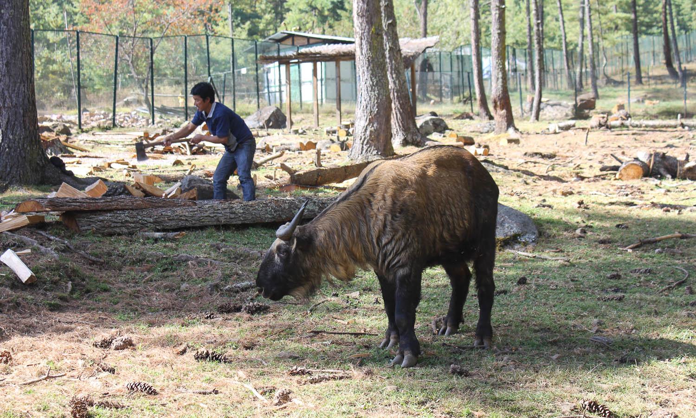 The Takin, Bhutan's Unusual National Animal — xyzAsia