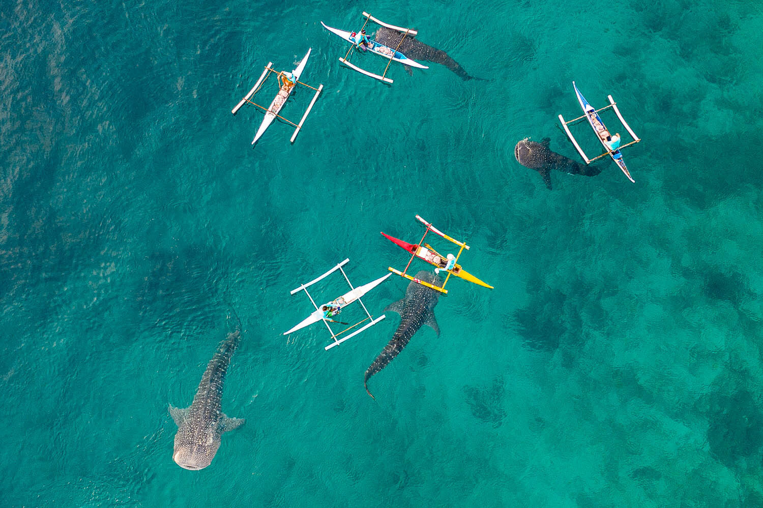 Photographing whale sharks in the Philippines from a drone. Image:  © Elena Frolova