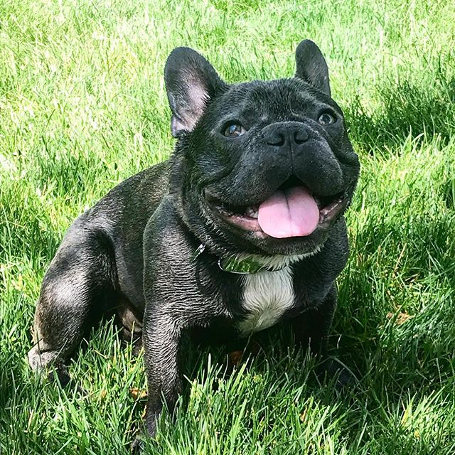 Somewhat impromptu #bringyourdogtoworkday with @frenchie.adventure ... doggo + grass + hose = happiness . . . . . #word #wordplay #wickedwordassociation #doggo #frenchie #happyday #happydog #cutestpuppy #womanownedbusiness #chicagobusiness #frenchbulldog