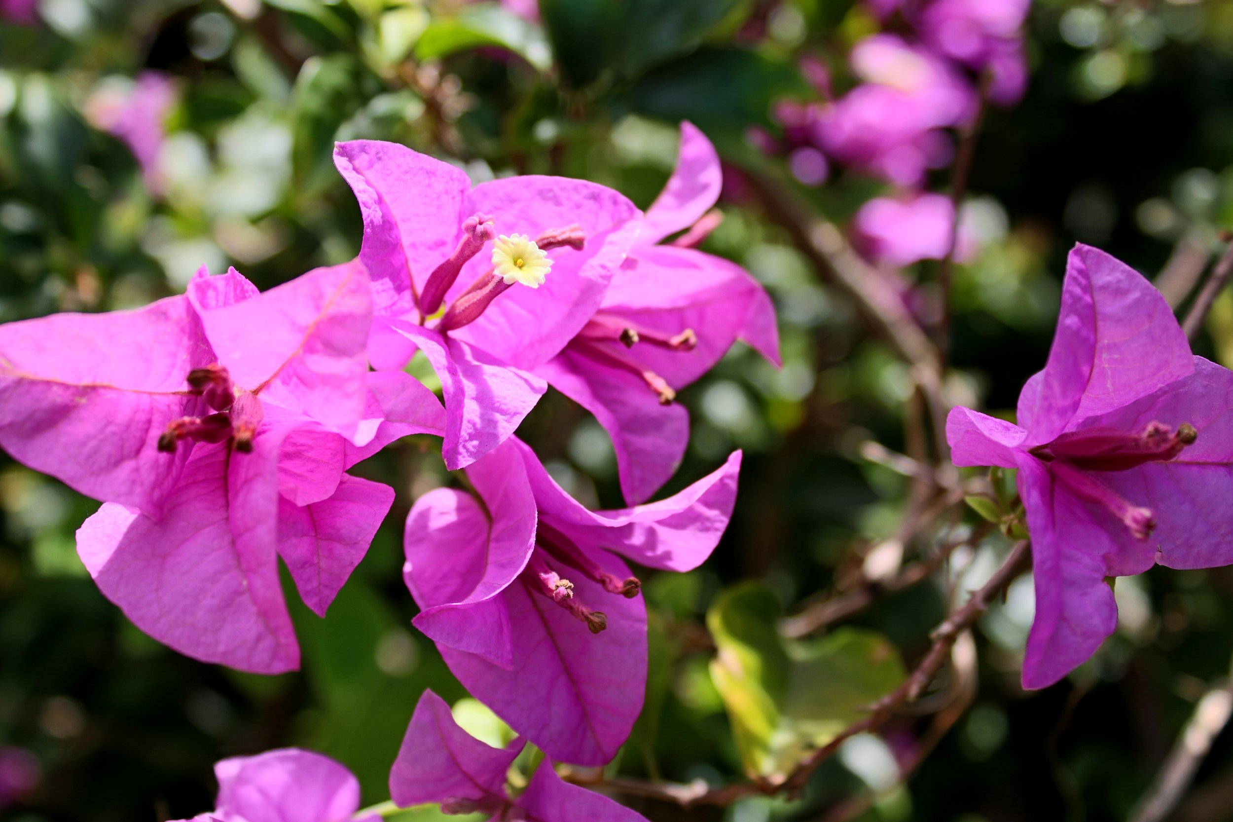 Bougainvillea - I actually had no idea what a Bougainvillea flower looked like, so here's a picture of the flower. The ink actually matches the color pretty well.