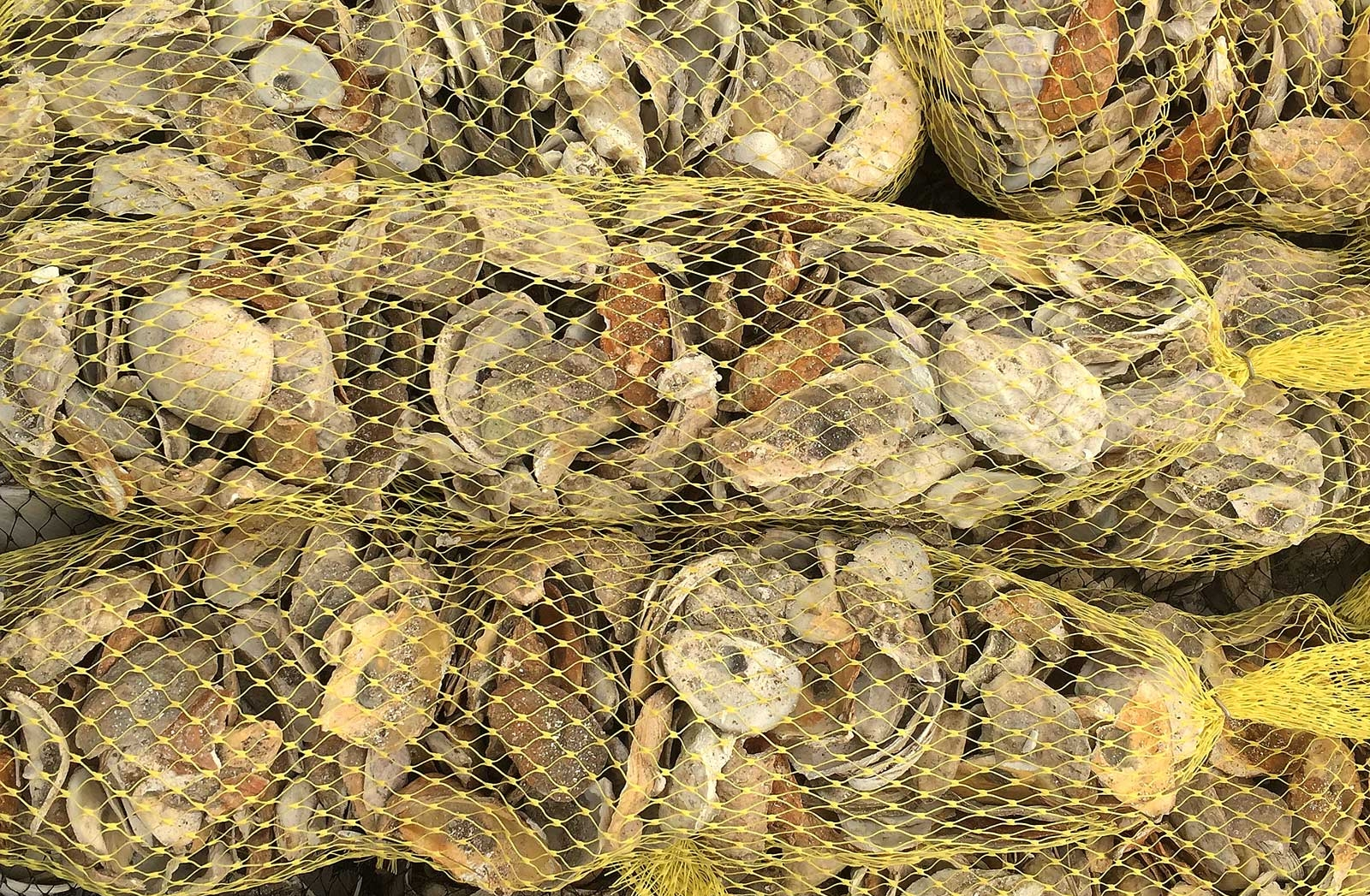 Remote Set - Oyster Reefs - Coastal Waters RestorationA.R.C. is one of the only hatcheries with the experience and the capacity to produce seed specifically for growing on recycled shell in cultch bags to meet the expanding demand for man-made oyster reefs. We have a product line designed specifically around the unique needs of this area of the industry and the techniques and growing tanks and to nurture the larvae to adhere to the recycled shell before the bags are taken from our facility and placed by towns into their coastal waters. A large number of public and not-for-profit organizations have dedicated significant resources to expanding oyster reef buildout in their communities. Oyster reefs provide powerful water filtering capability, assist with coastal erosion mitigation and can protect low lying areas from storm surges.