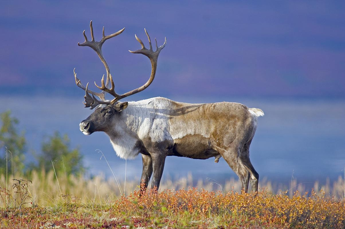 Caribou Migration - Nunavut, Canada