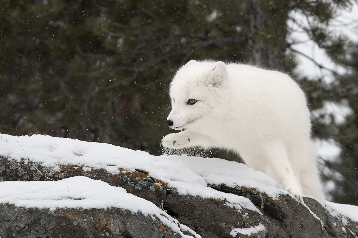 Arctic Fox in the Yukon