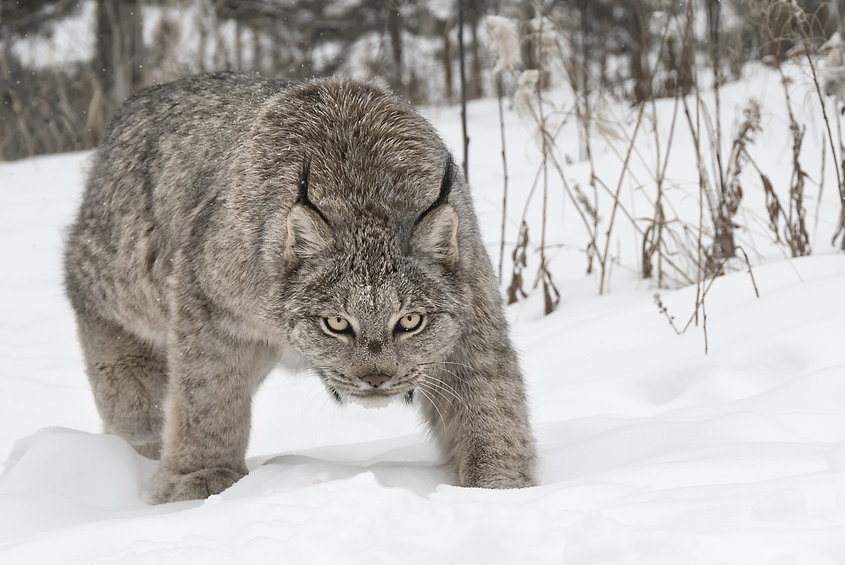 Canada Lynx in the Yukon