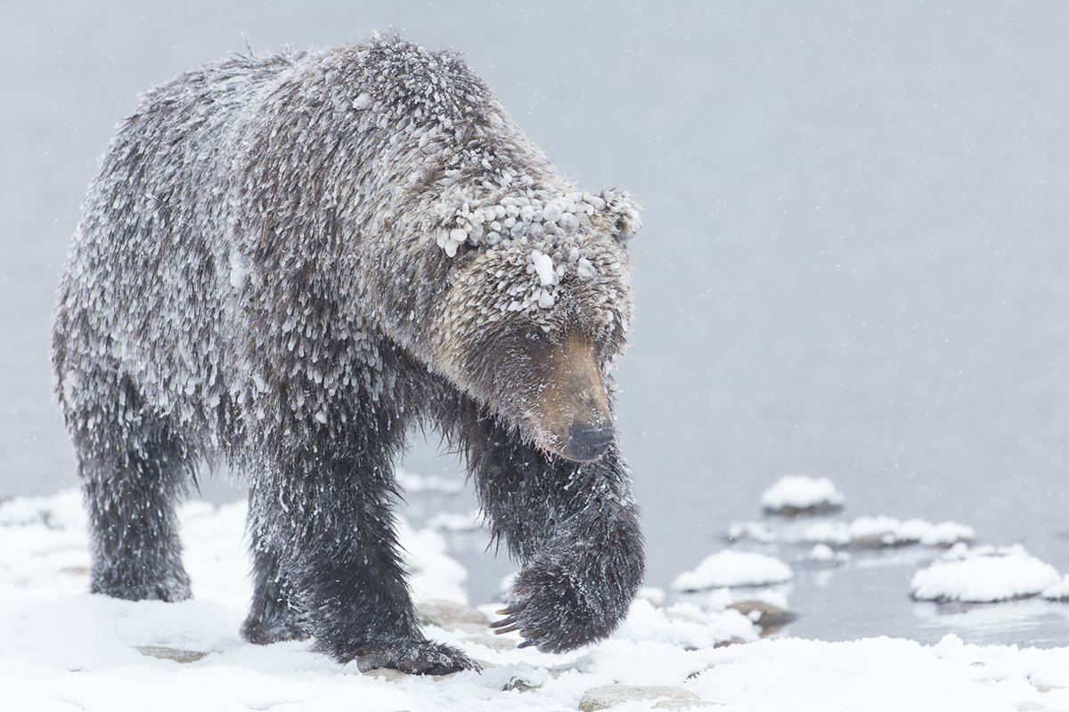 Ice Grizzly Bear in the Yukon
