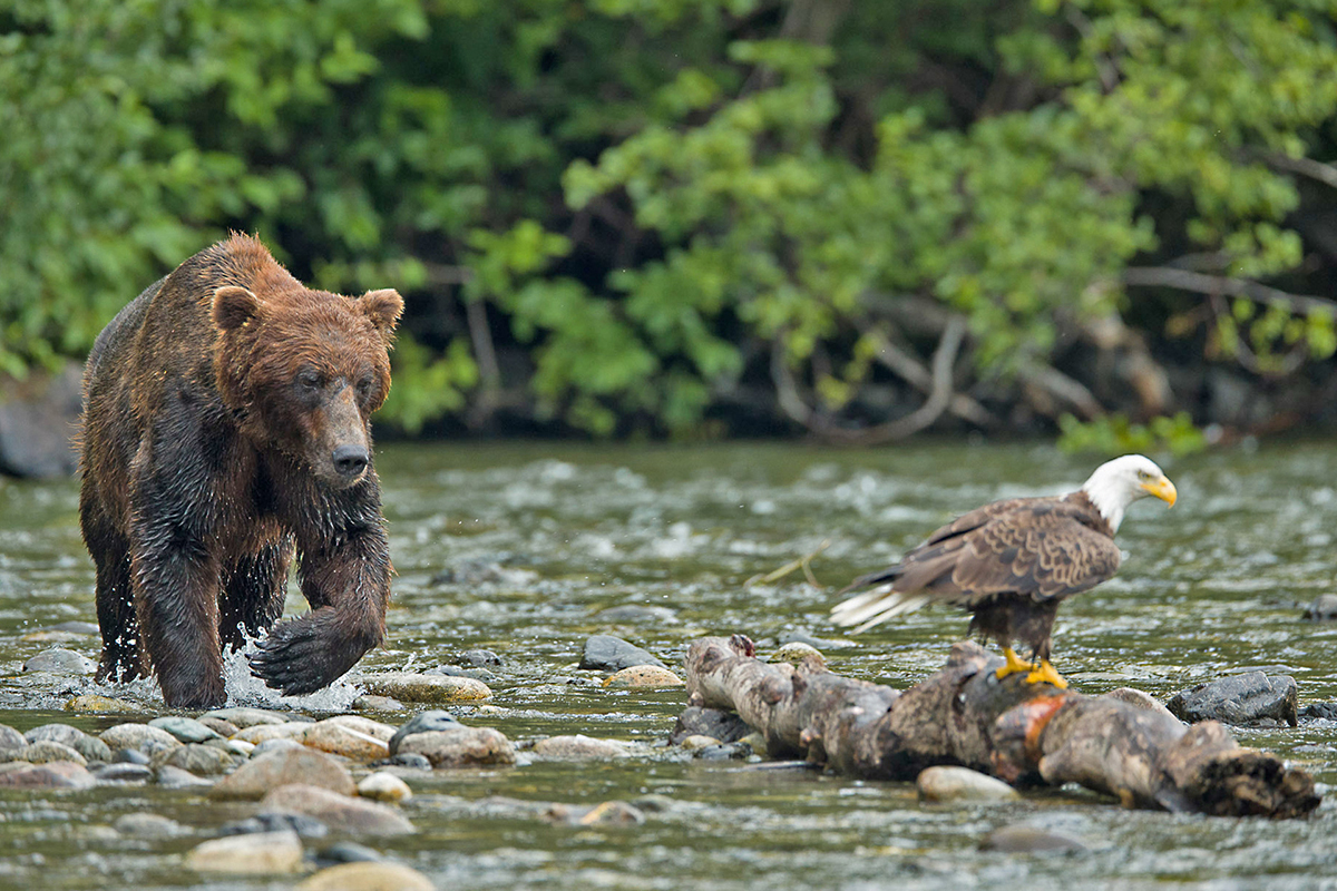 Grizzly Bear and Eagle in British Columbia