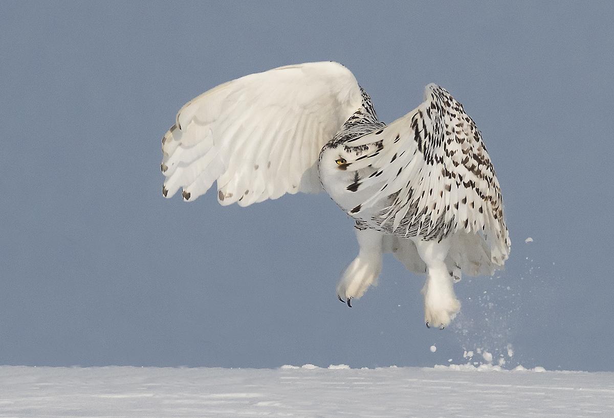 Snowy Owl in Ontario