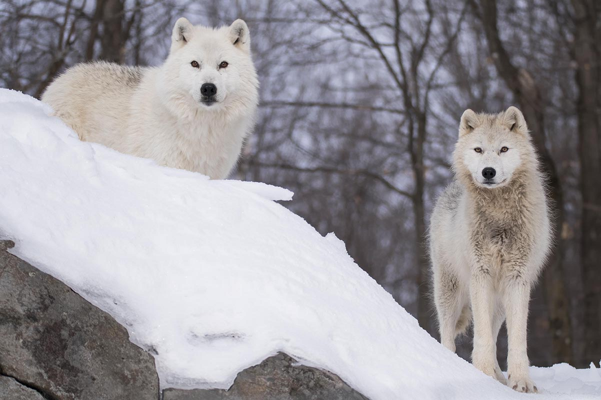 Tundra Wolves in Quebec