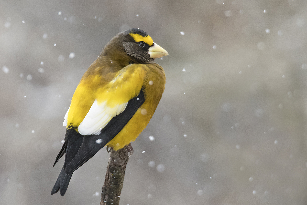 Evening Grosbeak in Ontario