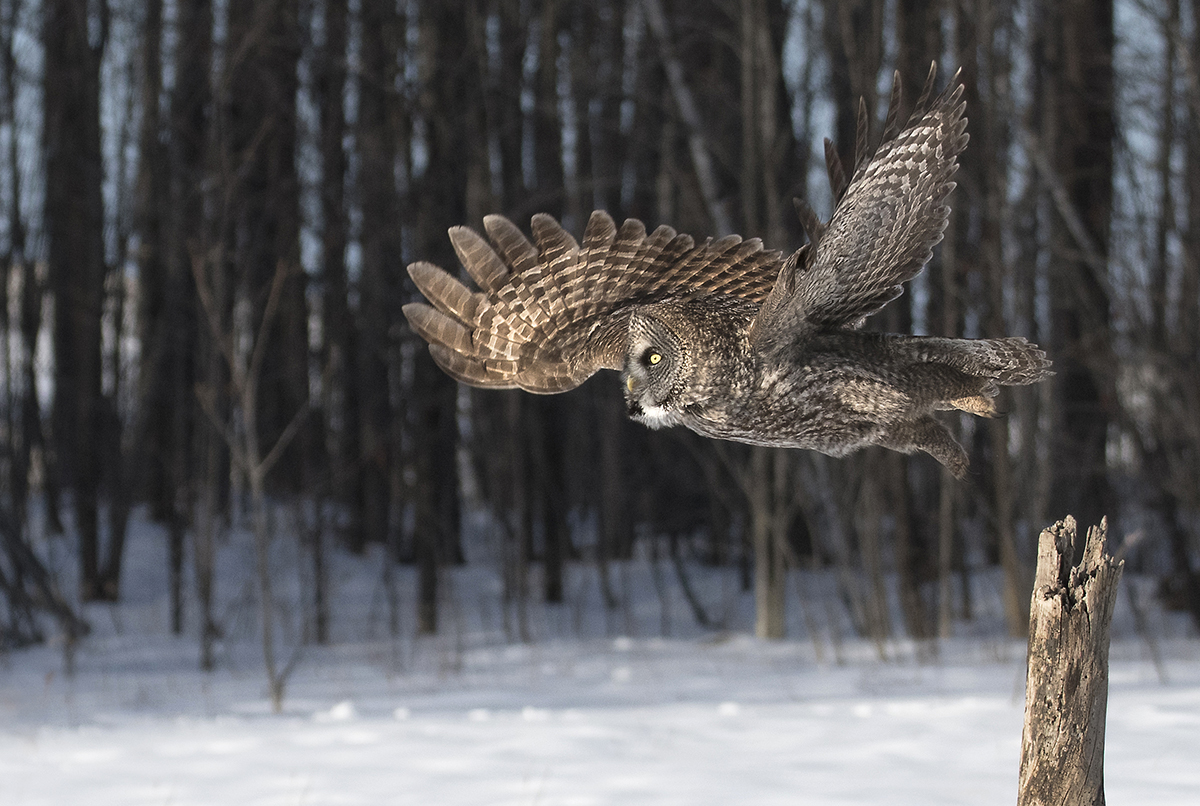 Great Grey Owl in Quebec