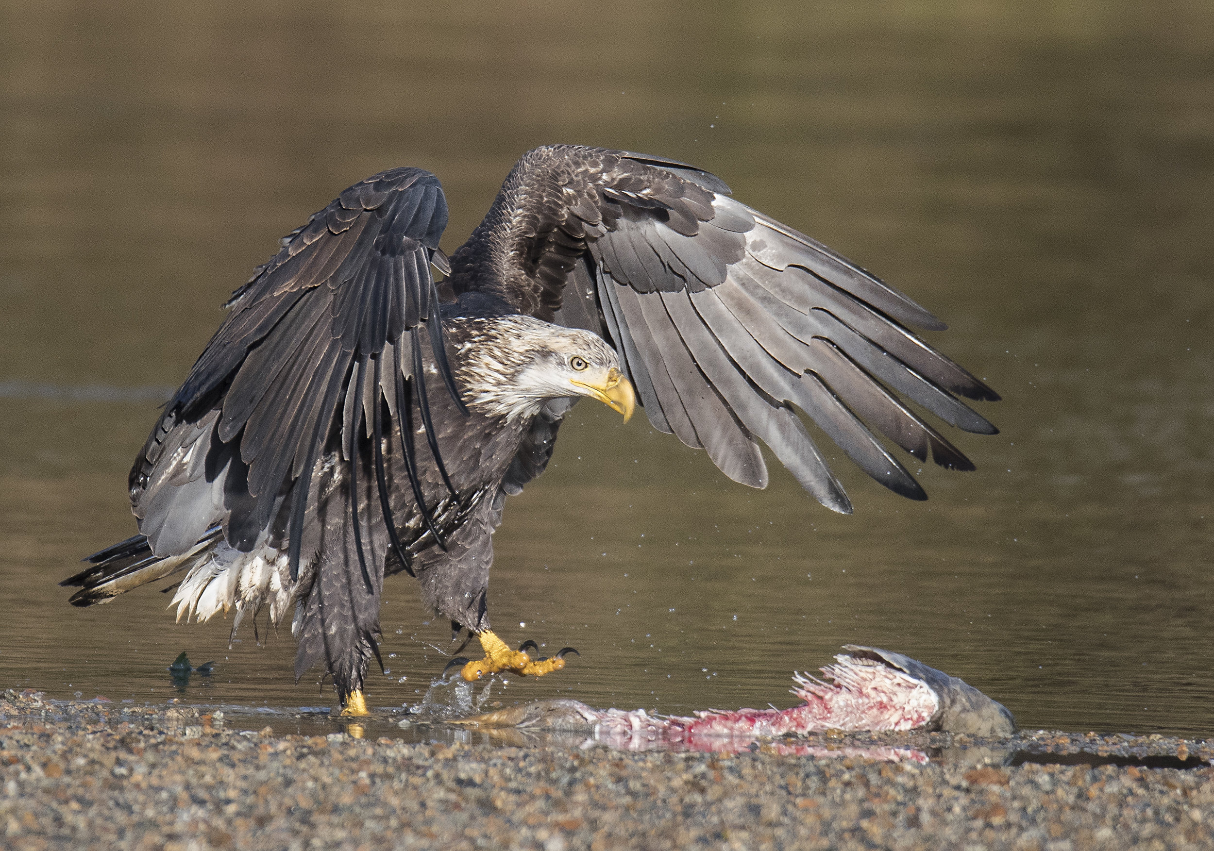 bald eagle walking towards salmon.jpg