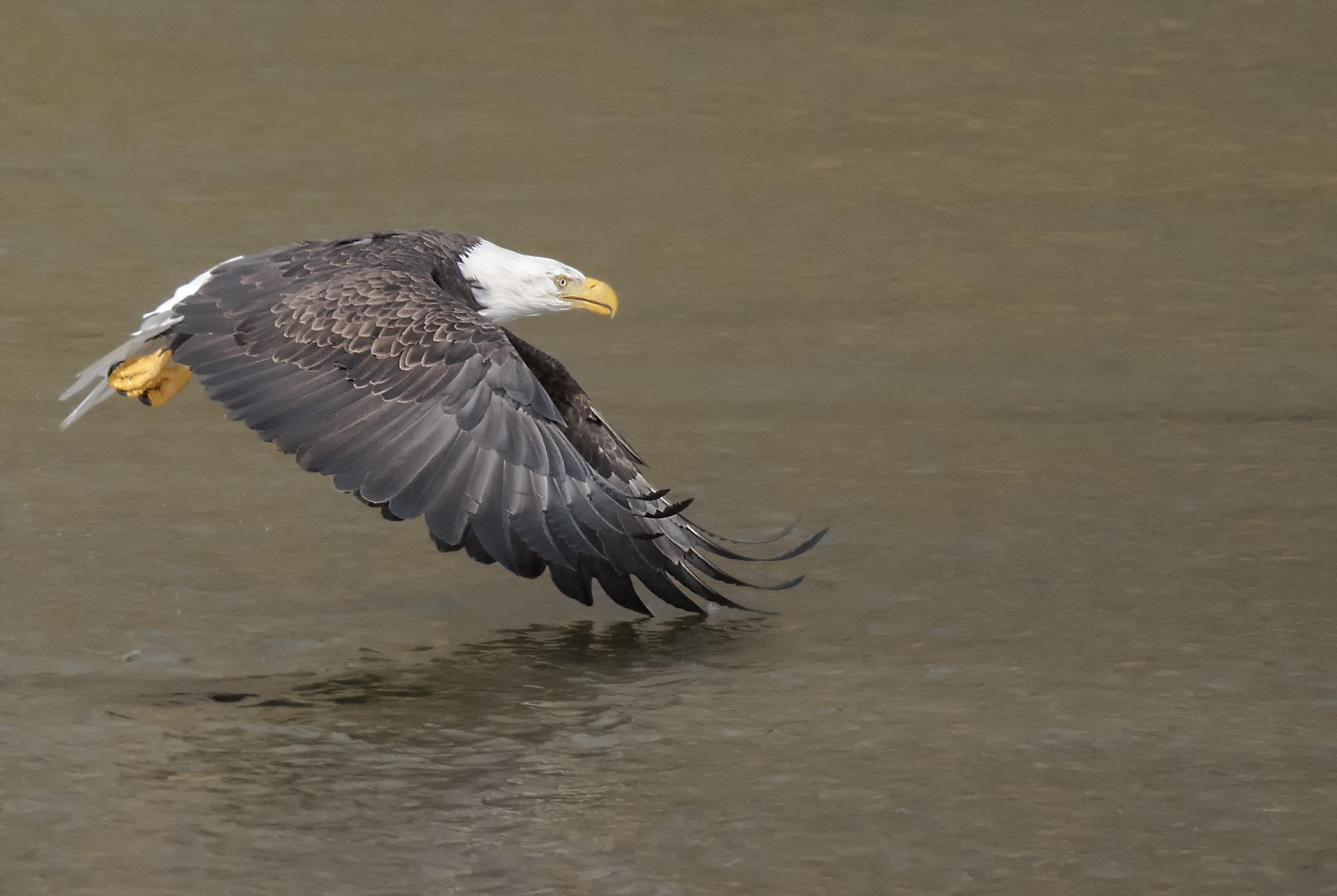 bald eagle on fraser river.jpg