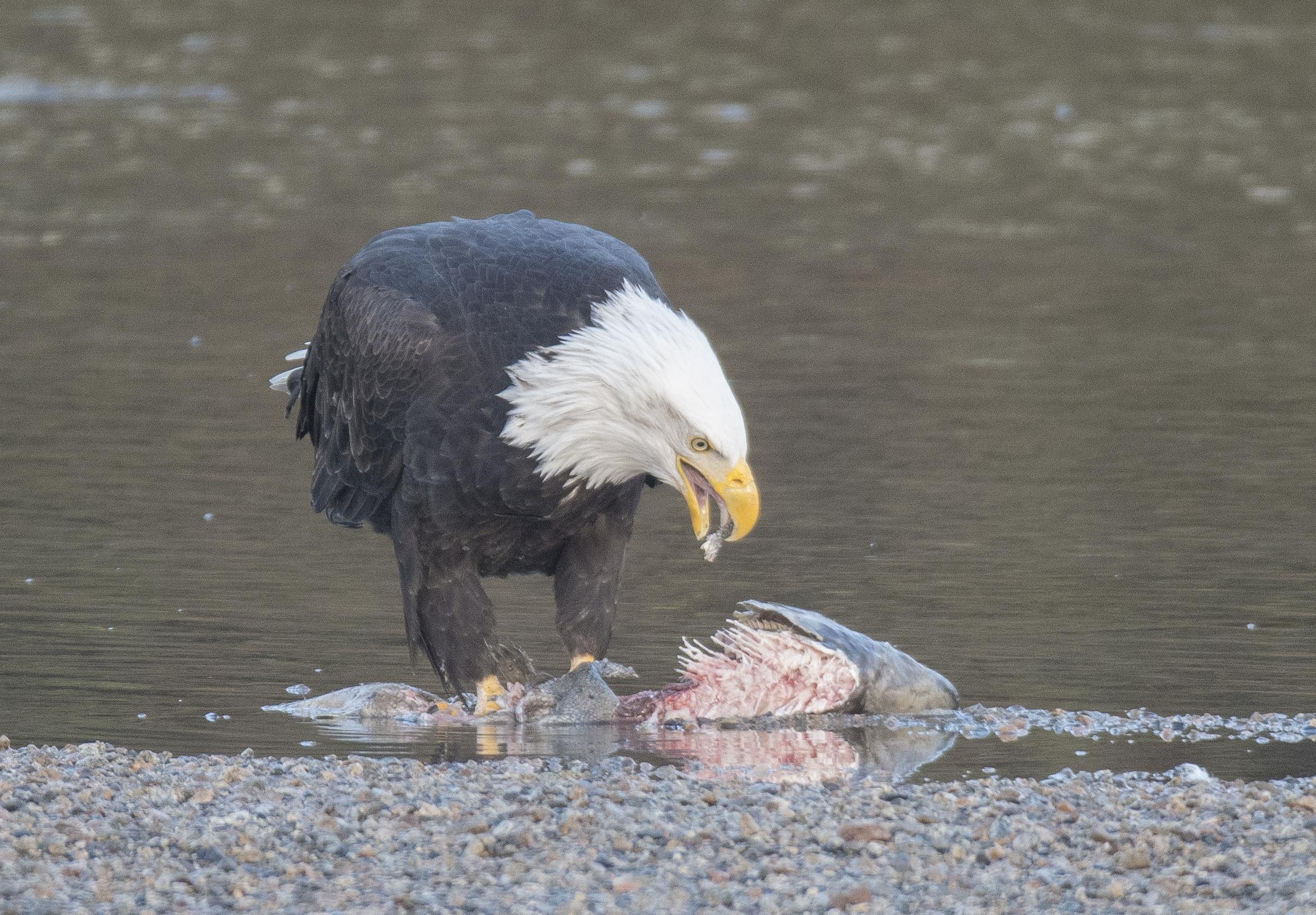 eagle eating a salmon.jpg