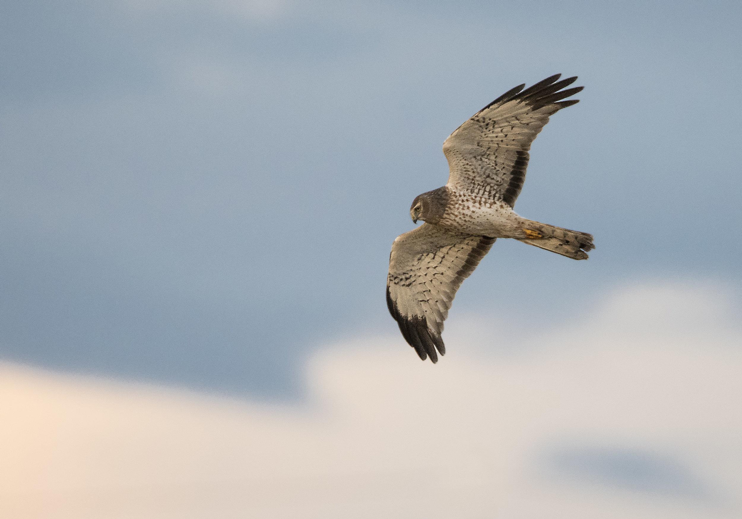 juvenile northern harrier.jpg