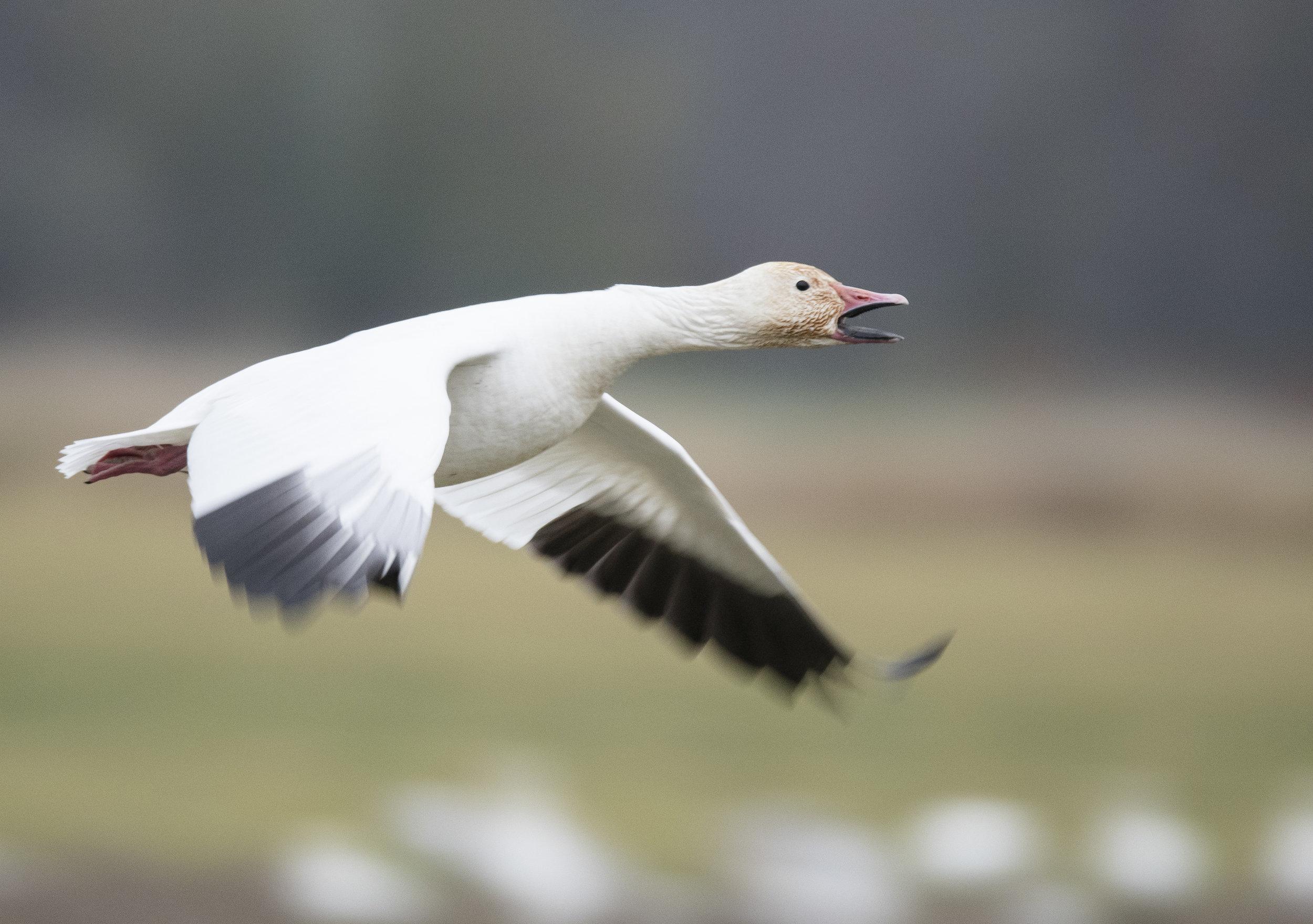 snow goose panning photo.jpg