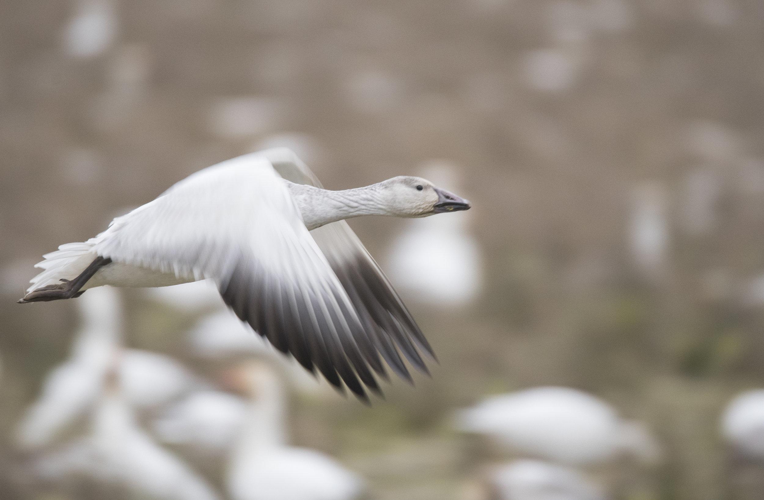 snow goose in flight.jpg