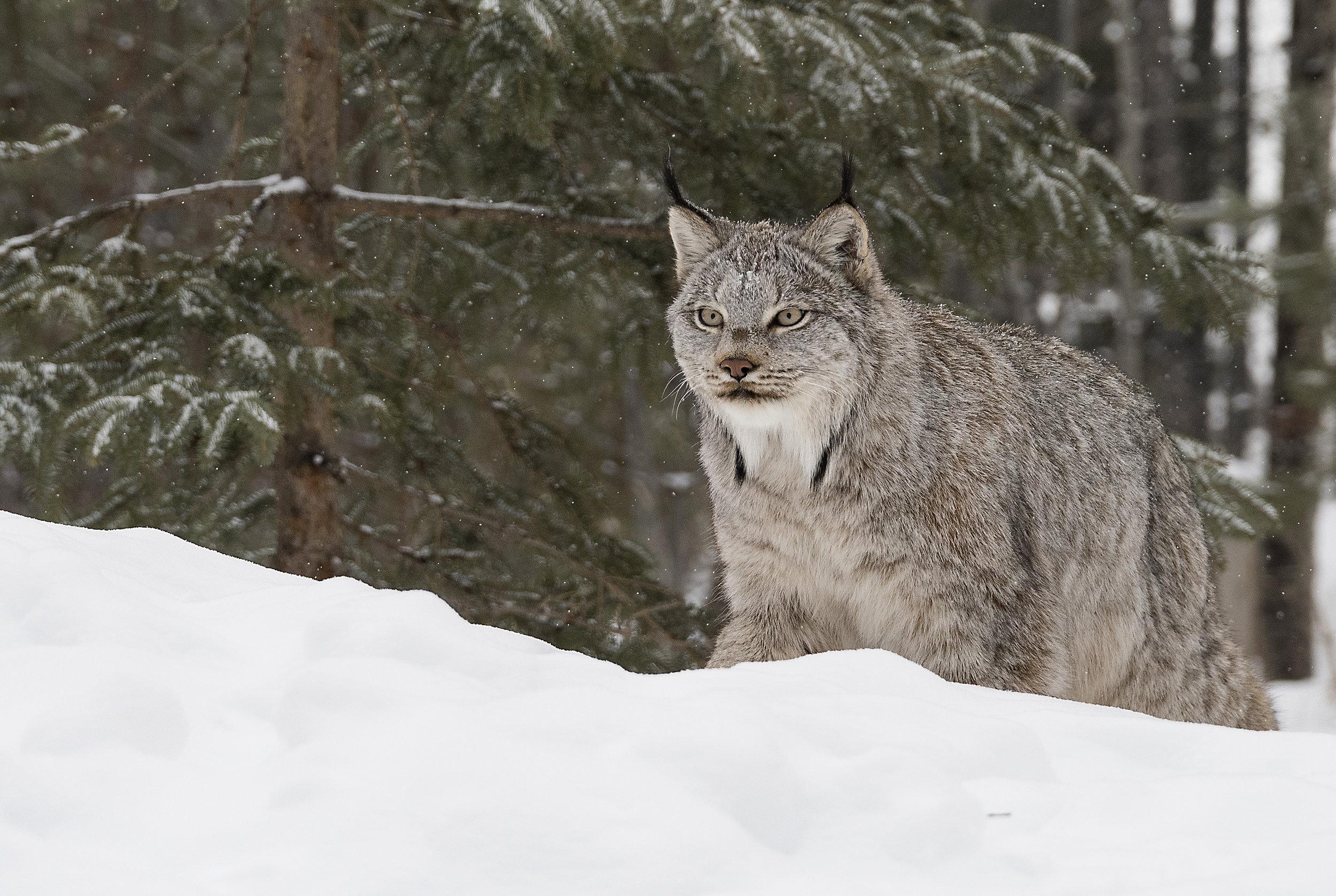 canada lynx 3.jpg