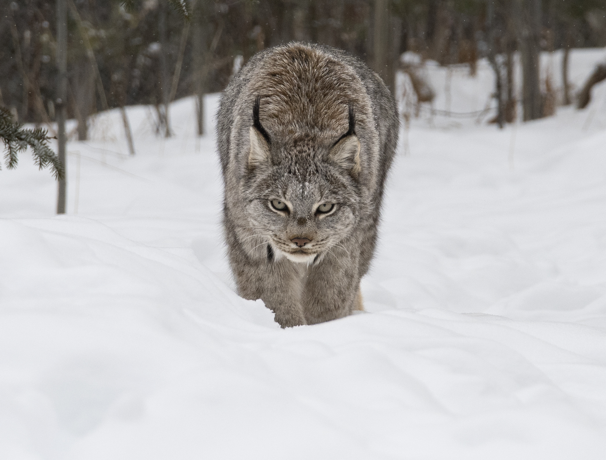 lynx walking towards me.jpg