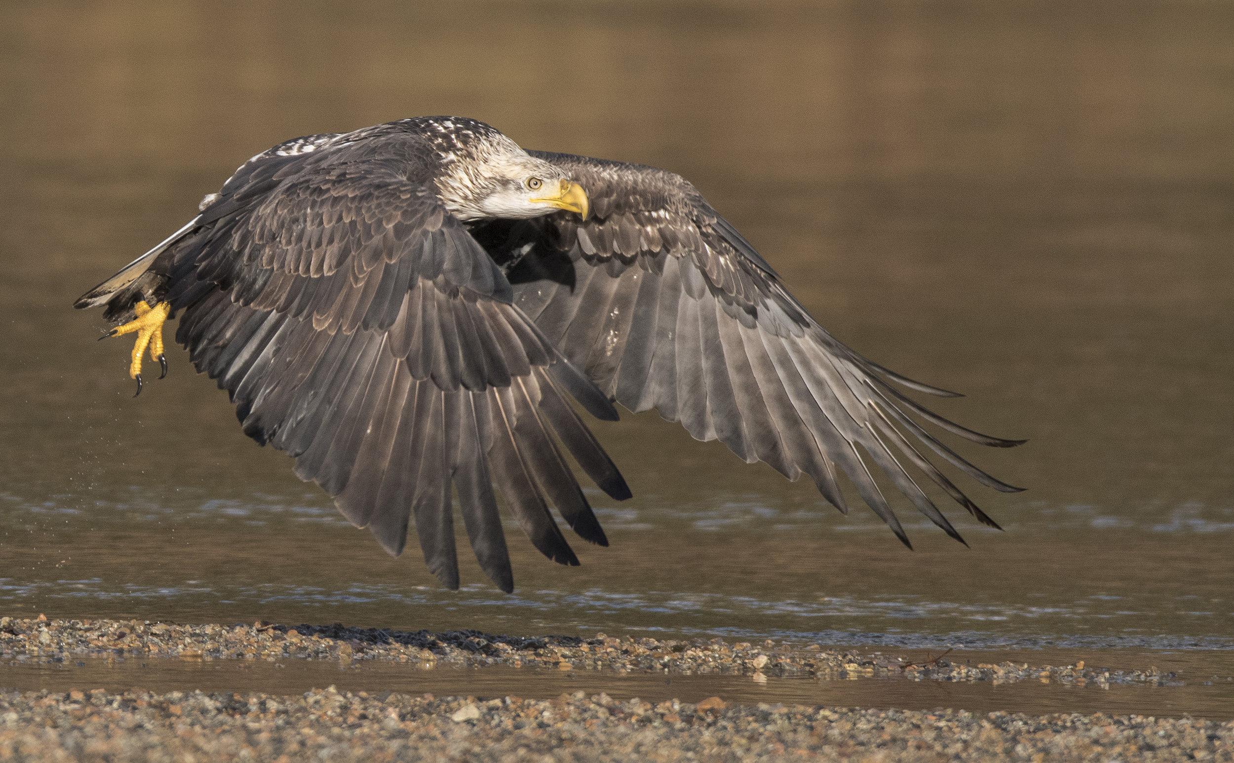 bald eagle in flight at Fraer valley eagle festival.jpg