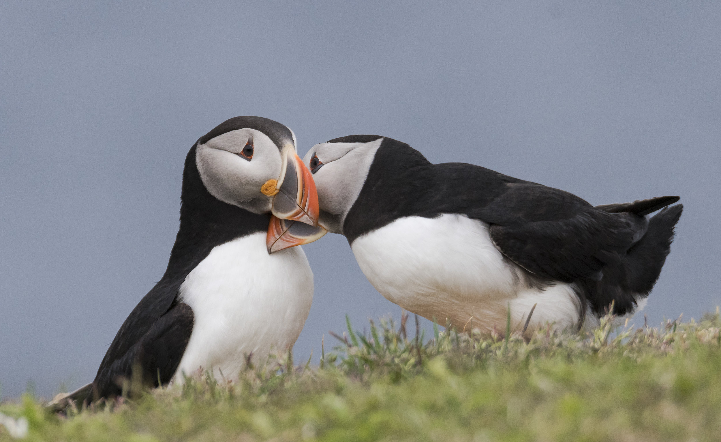 puffin cuddle.jpg